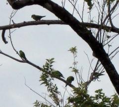 13_Parakeets.jpg