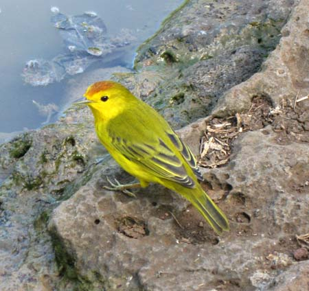 19_Yellow_bird.jpg