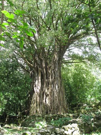 15_Tevanaua_ua_a_Banyan_Tree.jpg