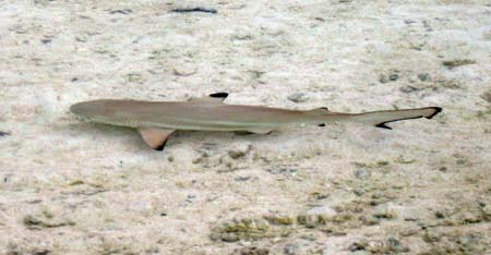 18_Reef_Shark_in_Shallows.jpg