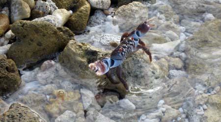 22_Crab_S_Fakarava.jpg