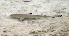 18_Reef_Shark_in_Shallows.jpg
