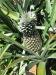07 Pineapple.jpg
