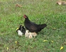 02_Chickens_Foa.jpg