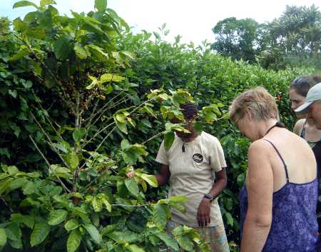 37_Coffee_Tree_Tanna_Coffee_roasting_House_Efate