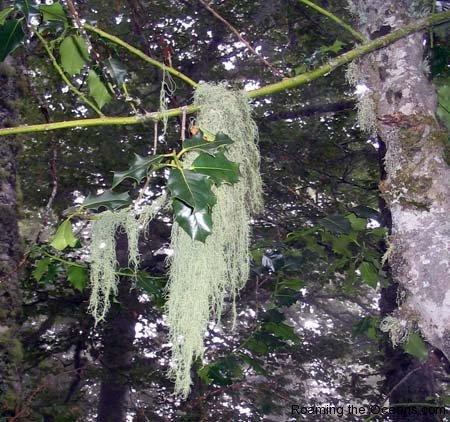 17_monks_beard_lichen.jpg