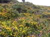 08_gorse_heather.jpg